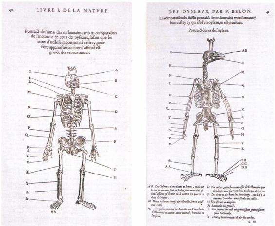 Imagen 8. Comparación de los esqueletos de un hombre un ave. L'Histoire de la nature des oyseaux