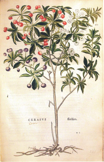 Imagen 6. Cerezo. De historia stirpium commentari insignes
