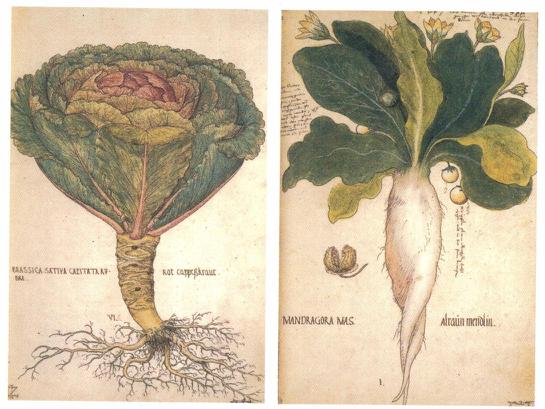 Imagen 5. Col lombarda y mandrágora. Códice de Viena