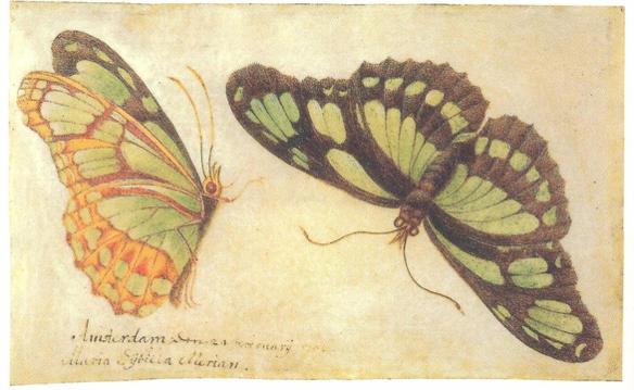 Imagen 12. Mariposas de Surinam realizadas en acuarela. Metamorphosis